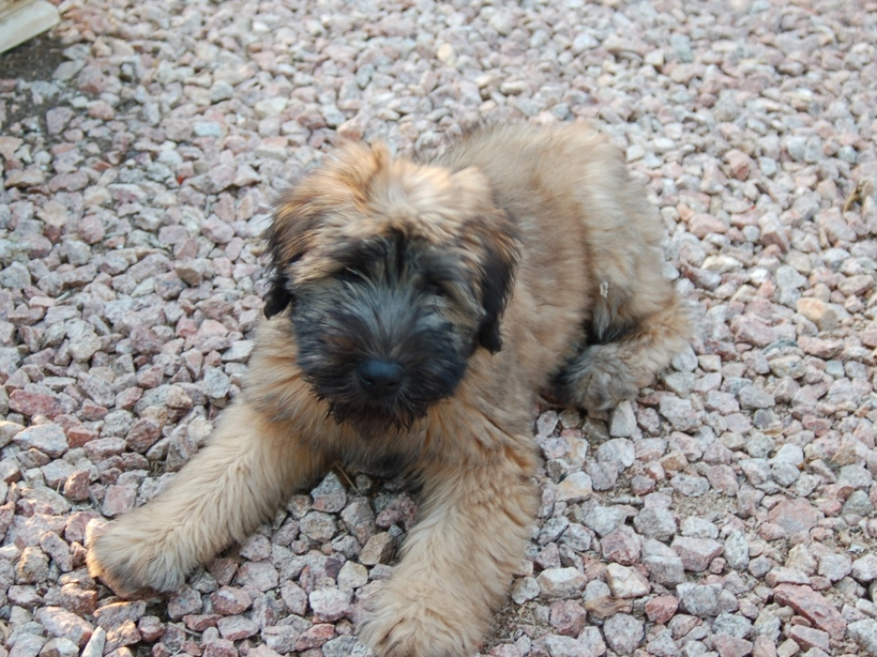Soft Coated Wheaten Terrier - American Haircoat