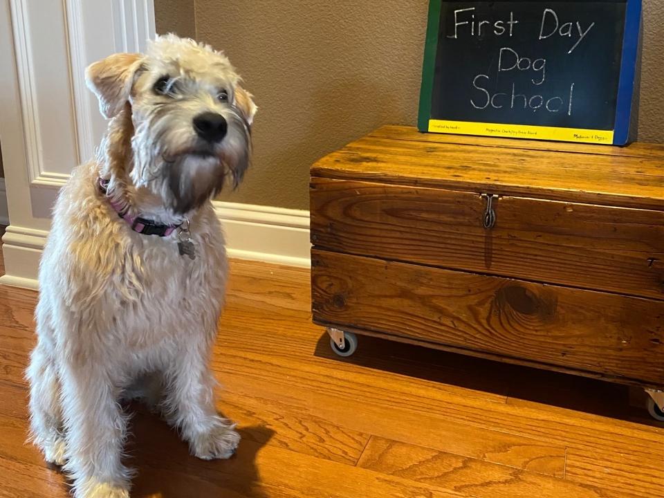 Soft Coated Wheaten Terrier - American Haircoat