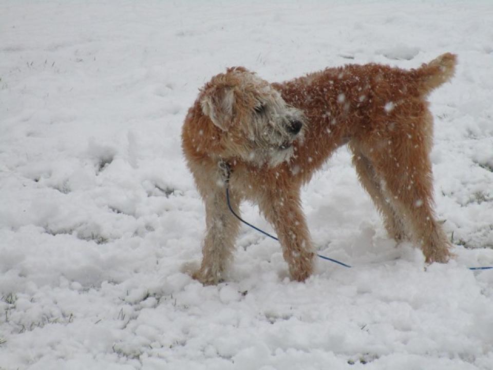 Soft Coated Wheaten Terrier - Irish Haircoat