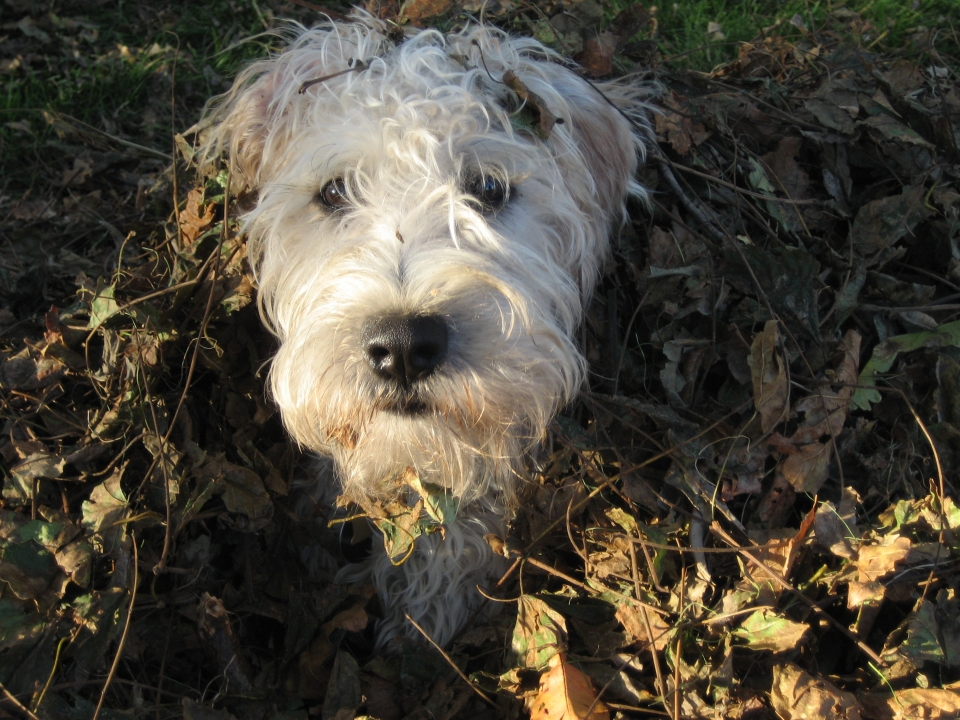 Soft Coated Wheaten Terrier - Irish Haircoat
